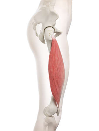 3d rendered medically accurate illustration of a womans Vastus Lateralis