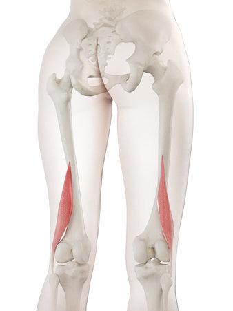 3D-gerenderte medizinisch genaue Darstellung eines kurzen Bizeps femoris einer Frau Standard-Bild