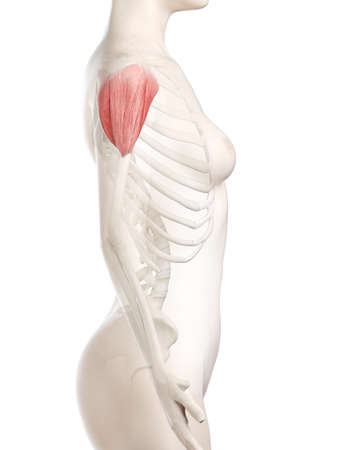 3d rendered medically accurate illustration of a womans Deltoid