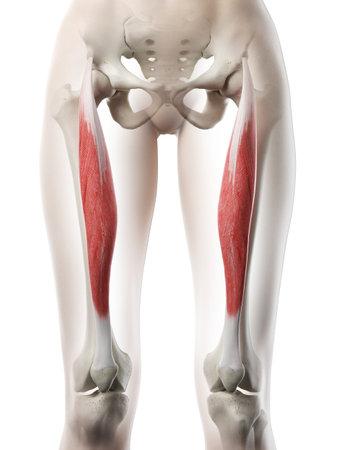 3D-gerenderte medizinisch genaue Abbildung eines Womans Rectus Femoris Standard-Bild