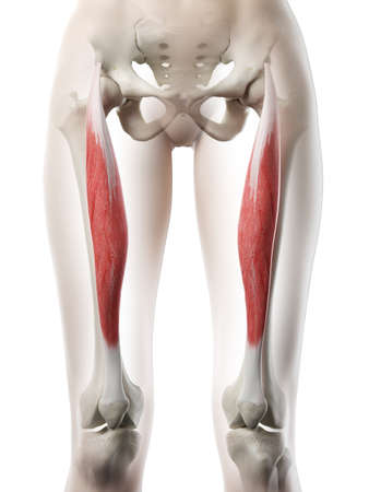 3d rendered medically accurate illustration of a womans Rectus Femoris Imagens