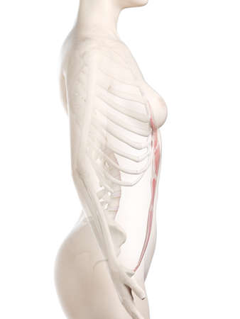 3d rendered medically accurate illustration of a womans Rectus Abdominis