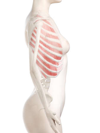 3d rendered medically accurate illustration of a womans Outer Intercostals