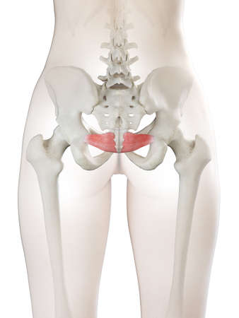 3d rendered medically accurate illustration of a womans Iliococcygeus