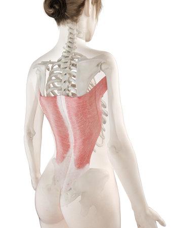 3D-gerenderte medizinisch genaue Abbildung eines Womans Latissimus Dorsi