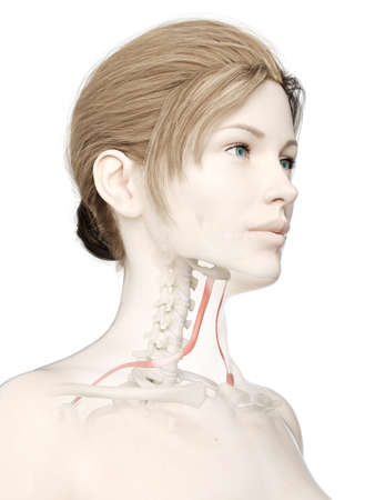 3d rendered medically accurate illustration of a womans omohyoid