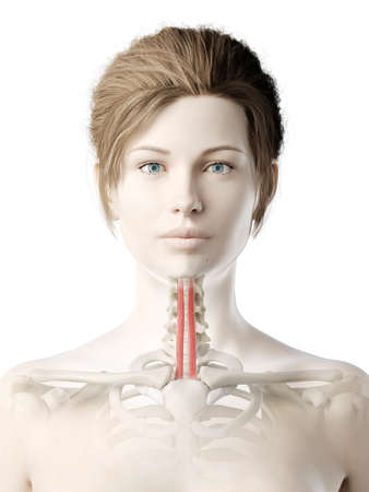 3d rendered medically accurate illustration of a womans sternohyoid Stock Illustration - 121139114