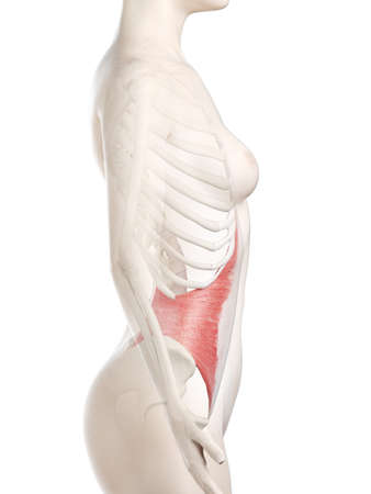 3d rendered medically accurate illustration of a womans Transversus Abdominis