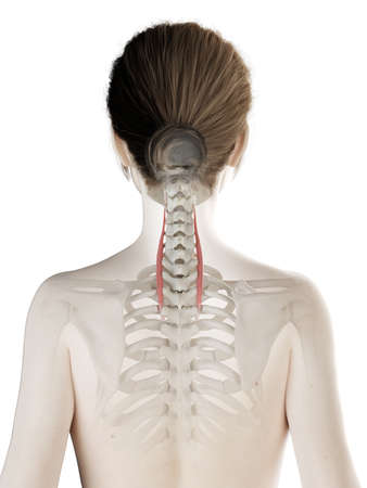3d rendered medically accurate illustration of a womans longissimus cervicis Stock Illustration - 121139125