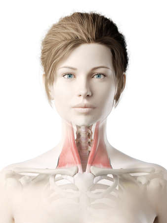 3d rendered medically accurate illustration of a womans sternocleidomastoid Banco de Imagens
