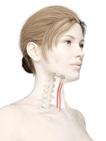 3d rendered medically accurate illustration of a womans sternohyoid Stock Photo