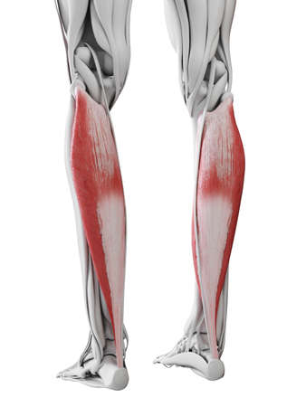 3d rendered medically accurate illustration of the soleus Stock Photo