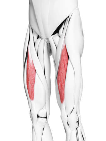 3d rendered medically accurate illustration of the rectus femoris Stock Photo