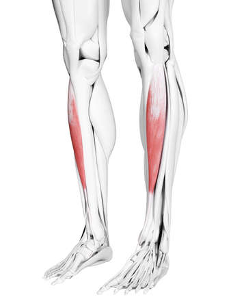 3d rendered medically accurate illustration of the tibialis anterior 版權商用圖片