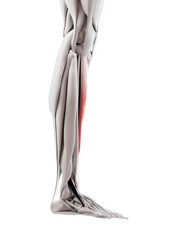 3d rendered medically accurate illustration of the tibialis anterior Stock Photo