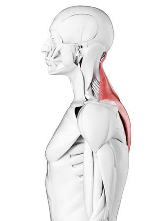 3d rendered medically accurate illustration of the trapezius