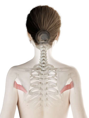 3d rendered medically accurate illustration of a womans Teres Major Stock Illustration - 121139375