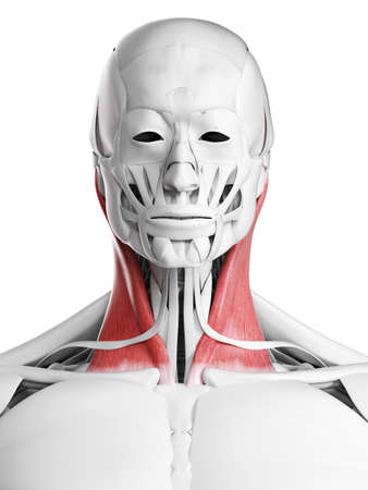 3d rendered medically accurate illustration of the sternoclaidomastoid Standard-Bild