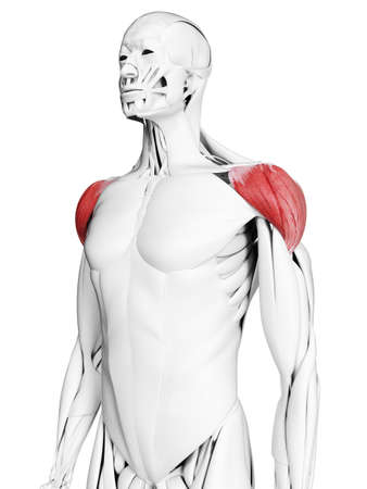 3d rendered medically accurate illustration of the deltoid Foto de archivo