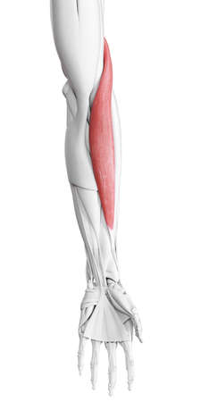 3d rendered medically accurate illustration of the brachioradialis Stock Photo