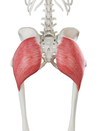 3d rendered medically accurate illustration of a females gluteus maximus Stock Illustration - 121282441