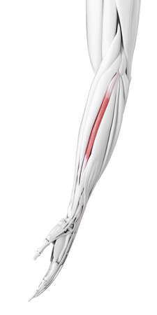 3d rendered medically accurate illustration of the carpi radialis brevis Stock Photo