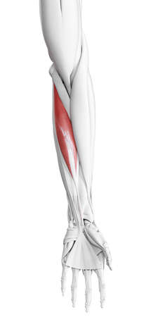 3d rendered medically accurate illustration of the flexor carpi radialis