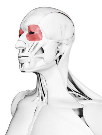 3d rendered medically accurate illustration of the orbicularis occuli Stock Photo