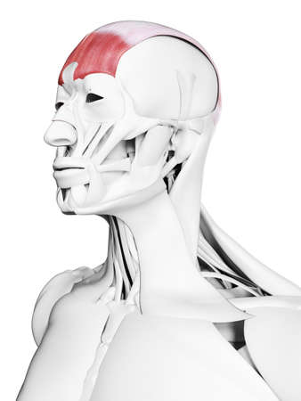 3d rendered medically accurate illustration of the frontalis