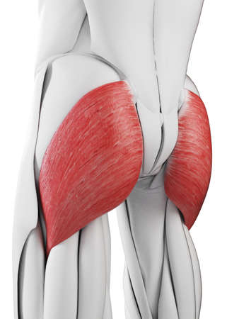 3d rendered medically accurate illustration of the gluteus maximus Stock Photo