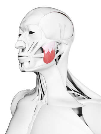 3d rendered medically accurate illustration of the superior masseter Stock Photo