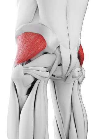 3d rendered medically accurate illustration of the gluteus minimus