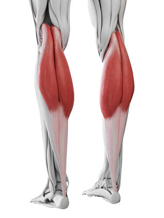 3d rendered medically accurate illustration of the gastrocnemius