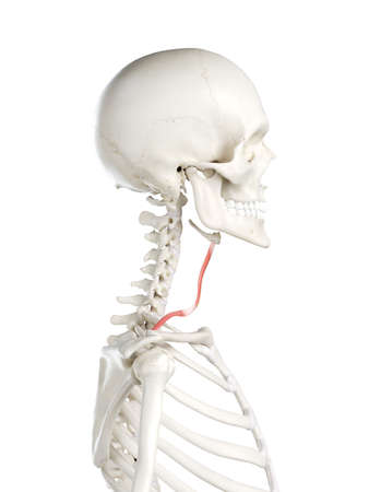3d rendered medically accurate illustration of a females omohyoid
