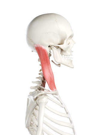 3d rendered medically accurate illustration of a females sternocleidomastoid Stock Illustration - 121283080