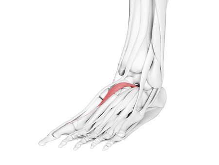 3d rendered medically accurate illustration of the extensor hallucis brevis