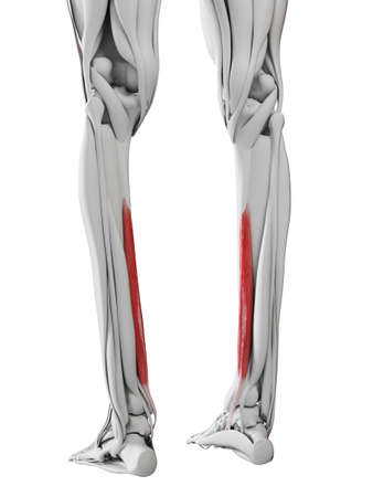 3d rendered medically accurate illustration of the flexor digitorum longus
