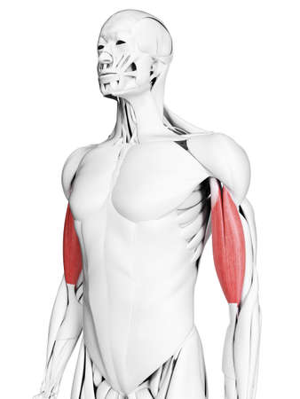 3d rendered medically accurate illustration of the biceps