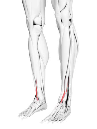 3d rendered medically accurate illustration of the extensor hallucis longus