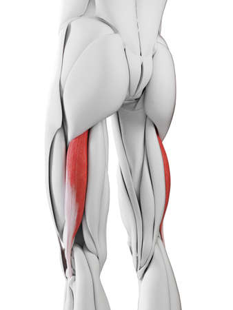 3d rendered medically accurate illustration of the biceps femoris longus