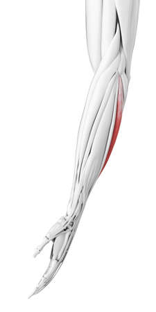 3d rendered medically accurate illustration of the extensor carpi ulnaris Stock Photo