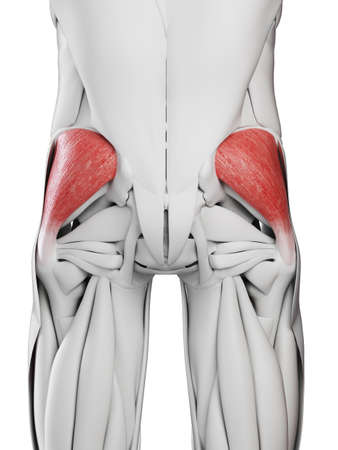 3d rendered medically accurate illustration of the gluteus medius Stock Photo