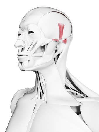 3d rendered medically accurate illustration of the auricularis muscles Stock Photo