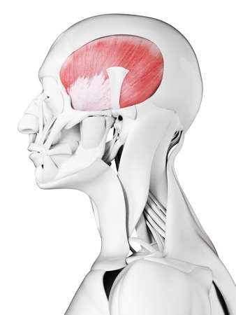3d rendered medically accurate illustration of the temporalis