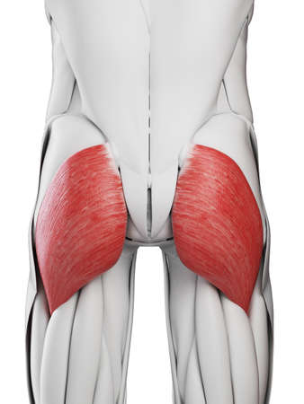 3d rendered medically accurate illustration of the gluteus maximus Standard-Bild