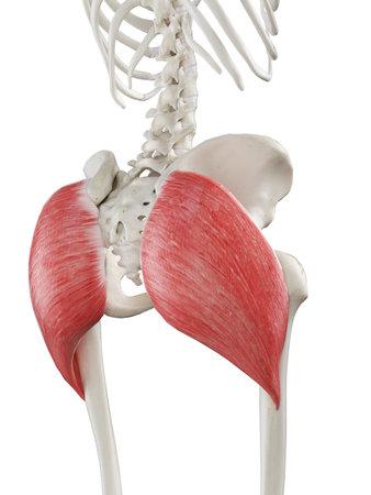 3d ha reso l'illustrazione medicamente accurata di una femmina gluteus maximus