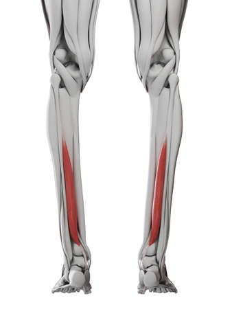 3d rendered medically accurate illustration of the flexor hallucis