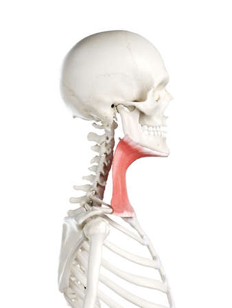 3d rendered medically accurate illustration of a females platysma Stock Illustration - 121283409