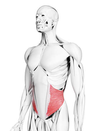 3d rendered medically accurate illustration of the internal oblique muscle