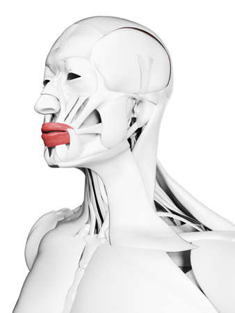 3d rendered medically accurate illustration of the orbicularis oris
